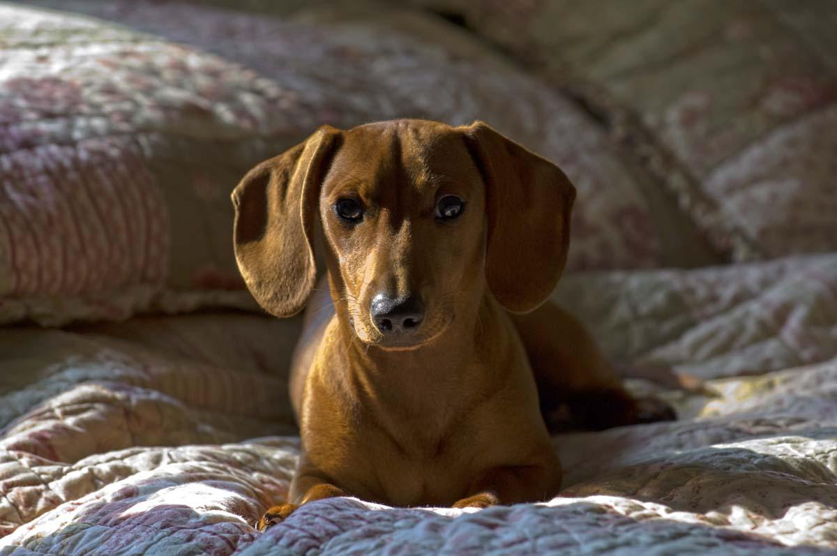 jaykeller com dachshunds natalie archie lucy petey